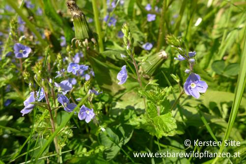 Persisches Ehrenpreis 2 © Kersten Sitte, www.essbarewildpflanzen.info