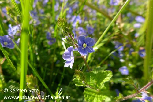 Persisches Ehrenpreis 3 © Kersten Sitte, www.essbarewildpflanzen.info
