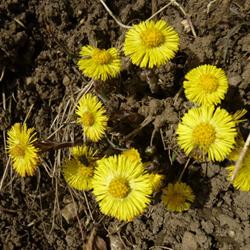 Pflanzen © Kersten Sitte, www.essbarewildpflanzen.at