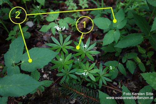 Pflanzengruppe Wald, 01.05.2020 - 1 © Kersten Sitte, www.essbarewild