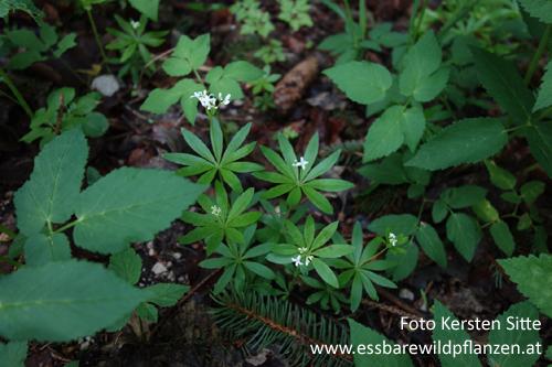 Pflanzengruppe Wald, 01.05.2020 - 2 © Kersten Sitte, www.essbarewild