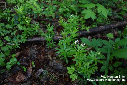 Pflanzengruppe Wald, 01.05.2020 - 3 © Kersten Sitte, www.essbarewild