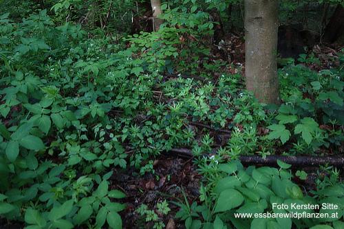 Pflanzengruppe Wald, 01.05.2020 - 4 © Kersten Sitte, www.essbarewild
