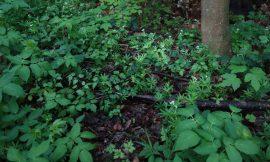 Wildpflanzen im Wald – Rätsel – 1