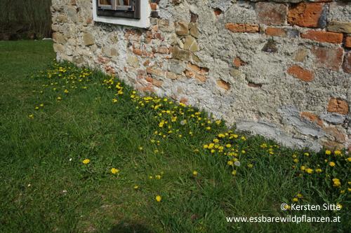 Poinerhaus-3, 4861 Schörfling © Kersten Sitte, www.essbarewildpflanzen.at
