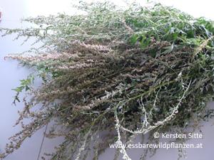räucherzigarre, Beifuß © Kersten Sitte, www.essbarewildpflanzen.at