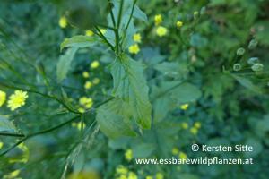 rainkohl blatt 2 © Kersten Sitte, www.essbarewildpflanzen.at