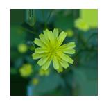 Rainkohl-Blütenfarbe-Kreis 150 x 150 px © Kersten Sitte, www.essbarewildpflanzen.at