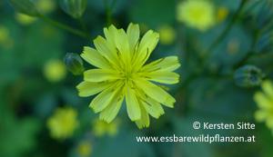 rainkohl blütenfarbe © Kersten Sitte, www.essbarewildpflanzen.at