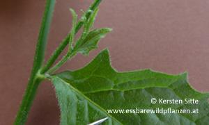 rainkohl haare blattrand © Kersten Sitte, www.essbarewildpflanzen.at