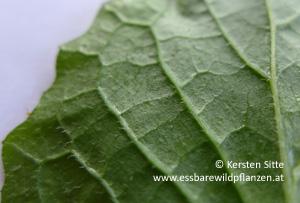 rainkohl haare blattunterseite © Kersten Sitte, www.essbarewildpflanzen.at