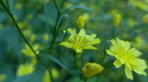 rainkohl hinweise © Kersten Sitte, www.essbarewildpflanzen.at
