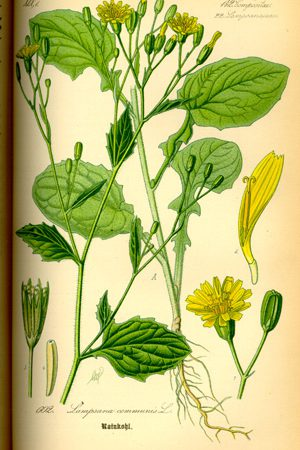 rainkohl illustration 1885, www.biolib.de