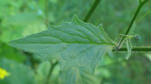 rainkohl inhaltsstoffe © Kersten Sitte, www.essbarewildpflanzen.at