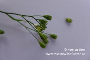 rainkohl saft frucht © Kersten Sitte, www.essbarewildpflanzen.at