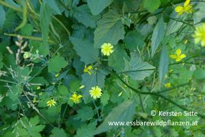 rainkohl wechselständig © Kersten Sitte, www.essbarewildpflanzen.at