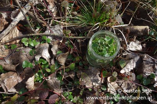 Scharbockskraut Blätter © Kersten Sitte, www.essbarewildpflanzen.at