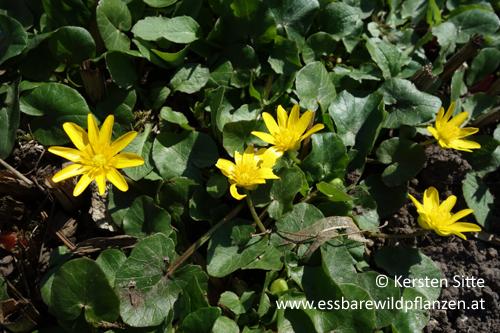 Scharbockskraut Blüten 2 © Kersten Sitte, www.essbarewildpflanzen.at