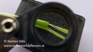 spitzwegerich blattstängel 2 © Kersten Sitte, www.essbarewildpflanzen.at
