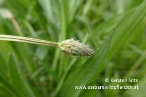 spitzwegerich knospe © Kersten Sitte, www.essbarewildpflanzen.at