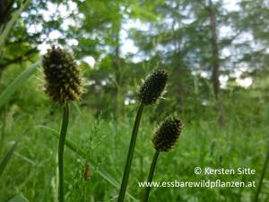 spitzwegerich knospen © Kersten Sitte, www.essbarewildpflanzen.at