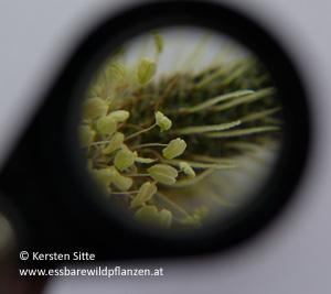 spitzwegerich staubblatt © Kersten Sitte, www.essbarewildpflanzen.at
