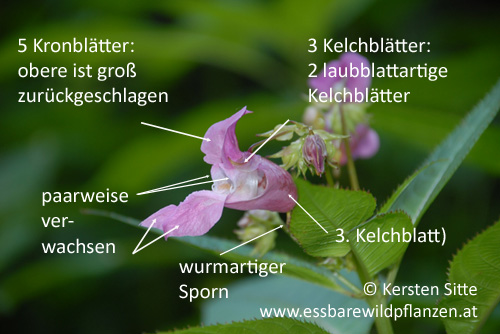 Springkraut Blüten 4 © Kersten Sitte, www.essbarewildpflanzen.at