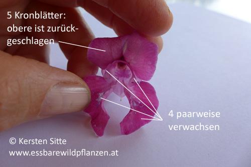 Springkraut Blütendetails 1 © Kersten Sitte, www.essbarewildpflanzen.at