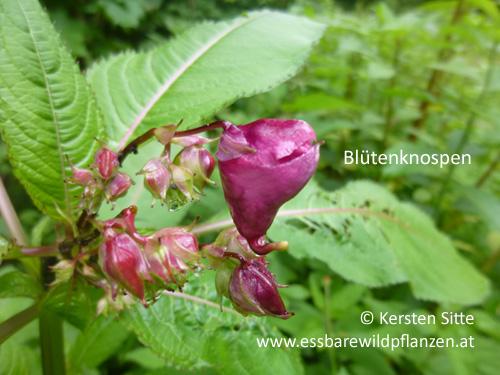 Springkraut Blütenknospen © Kersten Sitte, www.essbarewildpflanzen.at