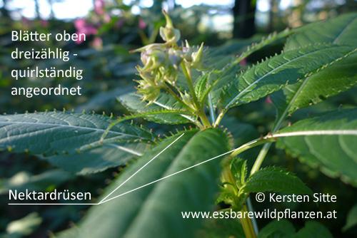 Springkraut Drüsen © Kersten Sitte, www.essbarewildpflanzen.at