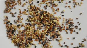 Springkraut Vorkommen © Kersten Sitte, www.essbarewildpflanzen.at