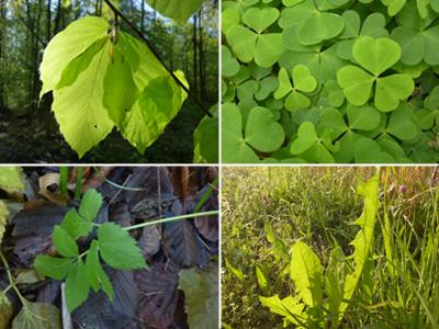 Blätter © Kersten Sitte, www.essbarewildpflanzen.at