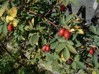 Frucht, Foto Hagebutte © Kersten Sitte, www.essbarewildpflanzen.at