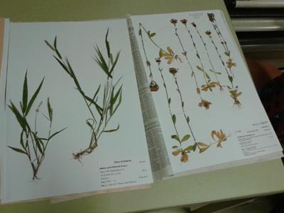 Herbarium © Kersten Sitte, www.essbarewildpflanzen.at