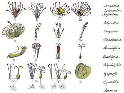 Pflanzennamen, Uhrheber Georg Dionysius Ehret, 1736,, Wikimedia © Kersten Sitte, www.essbarewildpflanzen.at
