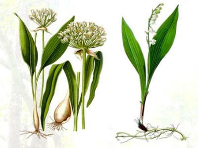 Verwechslung, by Guido Guiro, Wikimedia © Kersten Sitte, www.essbarewildpflanzen.at