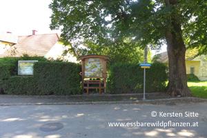 steinleitn alm bischofstetten 4 © Kersten Sitte, www.essbarewildpflanzen.at