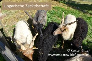 steinleitn alm zackelschafe © Kersten Sitte, www.essbarewildpflanzen.at