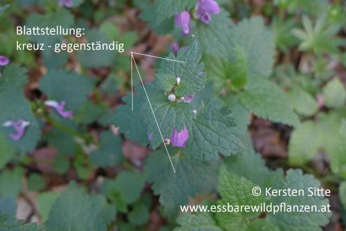 Gefleckte Taubnessel Blattstellung © Kersten Sitte, www.essbarewildpflanzen.at