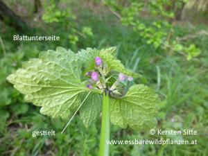 gefleckte taubnessel blattunterseite © Kersten Sitte, www.essbarewildpflanzen.at