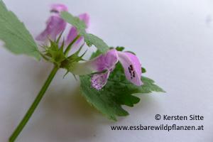 gefleckte taubnessel blüte 1 © Kersten Sitte, www.essbarewildpflanzen.at