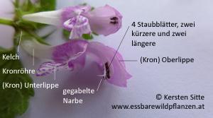 gefleckte taubnessel blüte 2 © Kersten Sitte, www.essbarewildpflanzen.at