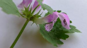 gefleckte taubnessel ernte & verwendung © Kersten Sitte, www.essbarewildpflanzen.at