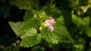 gefleckte taubnessel hinweise © Kersten Sitte, www.essbarewildpflanzen.at