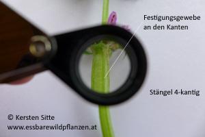 gefleckte taubnessel stängel 4 © Kersten Sitte, www.essbarewildpflanzen.at
