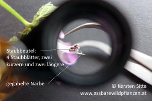gefleckte taubnessel staubbeutel © Kersten Sitte, www.essbarewildpflanzen.at