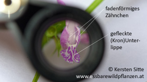 gefleckte taubnessel unterlippe 2 © Kersten Sitte, www.essbarewildpflanzen.at