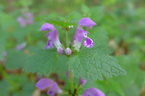 Gefleckte Taubnesselblüte © Kersten Sitte, www.essbarewildpflanzen.at