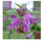Gefleckte-Taubnessel-Blütenfarbe-Kreis 150 x 150 px © Kersten Sitte, www.essbarewildpflanzen.at