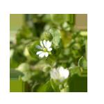 Vogelmiere-Blütenfarbe-Kreis 150 x 150 px © Kersten Sitte, www.essbarewildpflanzen.at